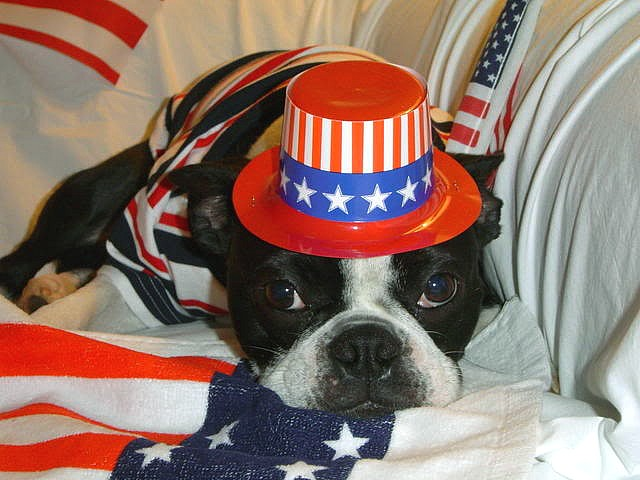 4th of July Dog in Red White and Blue - A dog dressed in the national colours red, white and blue celebrates 4th of July. - , 4th, July, dog, dogs, red, white, blue, animals, animal, holiday, holidays, show, shows, commemoration, commemorations, celebration, celebrations, event, events, gathering, gatherings, national, colours, colour - A dog dressed in the national colours red, white and blue celebrates 4th of July. Solve free online 4th of July Dog in Red White and Blue puzzle games or send 4th of July Dog in Red White and Blue puzzle game greeting ecards  from puzzles-games.eu.. 4th of July Dog in Red White and Blue puzzle, puzzles, puzzles games, puzzles-games.eu, puzzle games, online puzzle games, free puzzle games, free online puzzle games, 4th of July Dog in Red White and Blue free puzzle game, 4th of July Dog in Red White and Blue online puzzle game, jigsaw puzzles, 4th of July Dog in Red White and Blue jigsaw puzzle, jigsaw puzzle games, jigsaw puzzles games, 4th of July Dog in Red White and Blue puzzle game ecard, puzzles games ecards, 4th of July Dog in Red White and Blue puzzle game greeting ecard