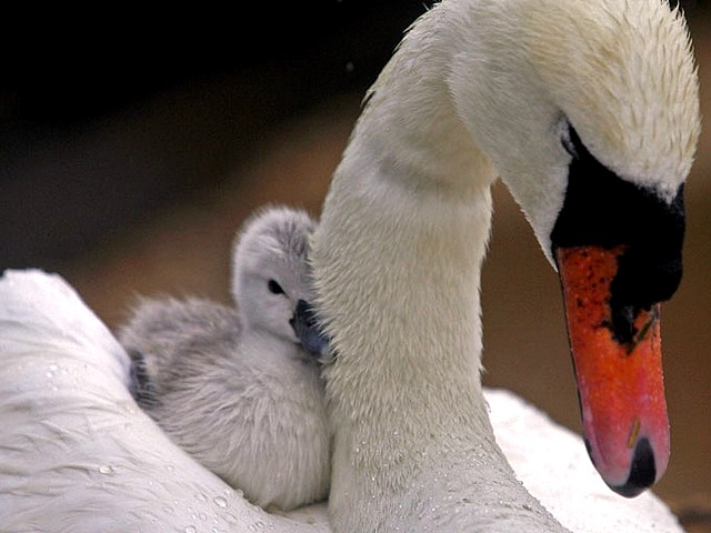 Abbotsbury Swannery Mother with a Baby Swan - A mother with a baby swan at the Abbotsbury Swannery in Dorset, England (May 18, 2010). - , Abbotsbury, Swannery, mother, mothers, baby, swan, swans, animal, animals, bird, birds, hatch, hatches, place, places, breeding-ground, breeding-grounds, sanctuary, sanctuaries, habitat, habitates, Dorset, England - A mother with a baby swan at the Abbotsbury Swannery in Dorset, England (May 18, 2010). Lösen Sie kostenlose Abbotsbury Swannery Mother with a Baby Swan Online Puzzle Spiele oder senden Sie Abbotsbury Swannery Mother with a Baby Swan Puzzle Spiel Gruß ecards  from puzzles-games.eu.. Abbotsbury Swannery Mother with a Baby Swan puzzle, Rätsel, puzzles, Puzzle Spiele, puzzles-games.eu, puzzle games, Online Puzzle Spiele, kostenlose Puzzle Spiele, kostenlose Online Puzzle Spiele, Abbotsbury Swannery Mother with a Baby Swan kostenlose Puzzle Spiel, Abbotsbury Swannery Mother with a Baby Swan Online Puzzle Spiel, jigsaw puzzles, Abbotsbury Swannery Mother with a Baby Swan jigsaw puzzle, jigsaw puzzle games, jigsaw puzzles games, Abbotsbury Swannery Mother with a Baby Swan Puzzle Spiel ecard, Puzzles Spiele ecards, Abbotsbury Swannery Mother with a Baby Swan Puzzle Spiel Gruß ecards