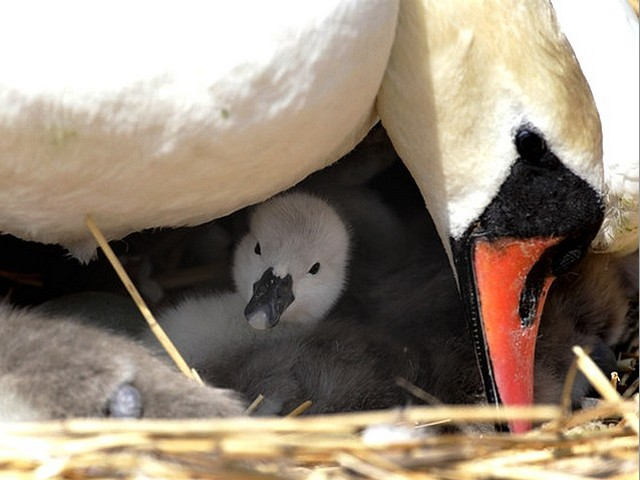 Abbotsbury Swannery a Cygnet beneath its Mother - A new hatched cygnet peep from beneath its mother at the Abbotsbury Swannery in Dorset, England (May 18, 2010). - , Abbotsbury, Swannery, cygnet, cygnets, mother, mothers, animals, animal, bird, birds, hatch, hatches, place, places, breeding-ground, breeding-grounds, sanctuary, sanctuaries, habitat, habitates, Dorset, England - A new hatched cygnet peep from beneath its mother at the Abbotsbury Swannery in Dorset, England (May 18, 2010). Solve free online Abbotsbury Swannery a Cygnet beneath its Mother puzzle games or send Abbotsbury Swannery a Cygnet beneath its Mother puzzle game greeting ecards  from puzzles-games.eu.. Abbotsbury Swannery a Cygnet beneath its Mother puzzle, puzzles, puzzles games, puzzles-games.eu, puzzle games, online puzzle games, free puzzle games, free online puzzle games, Abbotsbury Swannery a Cygnet beneath its Mother free puzzle game, Abbotsbury Swannery a Cygnet beneath its Mother online puzzle game, jigsaw puzzles, Abbotsbury Swannery a Cygnet beneath its Mother jigsaw puzzle, jigsaw puzzle games, jigsaw puzzles games, Abbotsbury Swannery a Cygnet beneath its Mother puzzle game ecard, puzzles games ecards, Abbotsbury Swannery a Cygnet beneath its Mother puzzle game greeting ecard