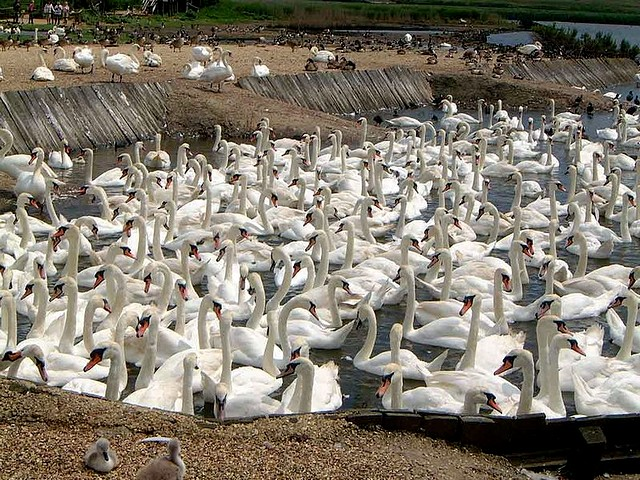 Abbotsbury Swannery - The Abbotsbury Swannery was established by Benedictine Monks at St.Peters monastery during 1040, and nowadays it is a sanctuary, a unique wildlife habitat of up to 1,000 free flying Mute swans. - , Abbotsbury, Swannery, animal, animals, bird, birds, hatch, hatches, place, places, breeding-ground, breeding-grounds, sanctuary, sanctuaries, habitat, habitates, Benedictine, monks, monk, St.Peters, monastery, monasteries, Mute, swans, swan - The Abbotsbury Swannery was established by Benedictine Monks at St.Peters monastery during 1040, and nowadays it is a sanctuary, a unique wildlife habitat of up to 1,000 free flying Mute swans. Solve free online Abbotsbury Swannery puzzle games or send Abbotsbury Swannery puzzle game greeting ecards  from puzzles-games.eu.. Abbotsbury Swannery puzzle, puzzles, puzzles games, puzzles-games.eu, puzzle games, online puzzle games, free puzzle games, free online puzzle games, Abbotsbury Swannery free puzzle game, Abbotsbury Swannery online puzzle game, jigsaw puzzles, Abbotsbury Swannery jigsaw puzzle, jigsaw puzzle games, jigsaw puzzles games, Abbotsbury Swannery puzzle game ecard, puzzles games ecards, Abbotsbury Swannery puzzle game greeting ecard