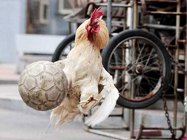 Animals World Cup Rooster Goal-Keeper in Shenyang China - A rooster as a goal-keeper leaps for the ball during the 'Animals World Cup' tournament in Shenyang, China (June 3, 2010). - , Animals, World, Cup, rooster, roosters, goal-keeper, goal-keepers, Shenyang, China, animals, animal, sport, sports, show, shows, match, matches, tournament, tournaments, football, footballs, soccer, soocers, ball, balls - A rooster as a goal-keeper leaps for the ball during the 'Animals World Cup' tournament in Shenyang, China (June 3, 2010). Solve free online Animals World Cup Rooster Goal-Keeper in Shenyang China puzzle games or send Animals World Cup Rooster Goal-Keeper in Shenyang China puzzle game greeting ecards  from puzzles-games.eu.. Animals World Cup Rooster Goal-Keeper in Shenyang China puzzle, puzzles, puzzles games, puzzles-games.eu, puzzle games, online puzzle games, free puzzle games, free online puzzle games, Animals World Cup Rooster Goal-Keeper in Shenyang China free puzzle game, Animals World Cup Rooster Goal-Keeper in Shenyang China online puzzle game, jigsaw puzzles, Animals World Cup Rooster Goal-Keeper in Shenyang China jigsaw puzzle, jigsaw puzzle games, jigsaw puzzles games, Animals World Cup Rooster Goal-Keeper in Shenyang China puzzle game ecard, puzzles games ecards, Animals World Cup Rooster Goal-Keeper in Shenyang China puzzle game greeting ecard
