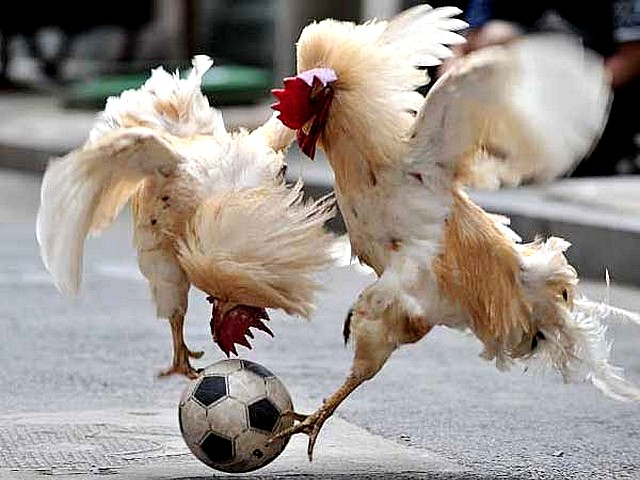 Animals World Cup Roosters Head to Head in Shenyang China - Roosters play head-to-head for control of the soccer ball during the 'Animals World Cup' in Shenyang, China (July 8, 2010). - , Animals, World, Cup, roosters, rooster, head-to-head, Shenyang, China, animals, animal, sport, sports, show, shows, match, matches, tournament, tournaments, football, footballs, soccer, soccers, ball, balls - Roosters play head-to-head for control of the soccer ball during the 'Animals World Cup' in Shenyang, China (July 8, 2010). Solve free online Animals World Cup Roosters Head to Head in Shenyang China puzzle games or send Animals World Cup Roosters Head to Head in Shenyang China puzzle game greeting ecards  from puzzles-games.eu.. Animals World Cup Roosters Head to Head in Shenyang China puzzle, puzzles, puzzles games, puzzles-games.eu, puzzle games, online puzzle games, free puzzle games, free online puzzle games, Animals World Cup Roosters Head to Head in Shenyang China free puzzle game, Animals World Cup Roosters Head to Head in Shenyang China online puzzle game, jigsaw puzzles, Animals World Cup Roosters Head to Head in Shenyang China jigsaw puzzle, jigsaw puzzle games, jigsaw puzzles games, Animals World Cup Roosters Head to Head in Shenyang China puzzle game ecard, puzzles games ecards, Animals World Cup Roosters Head to Head in Shenyang China puzzle game greeting ecard