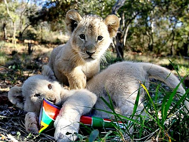 Animals World Cup White Lion Cubs at a Farm in South Africa - Ten-week-old white lion cubs play with a vuvuzela during the 'Animals World Cup' at a farm near Rustenburg in South Africa (June 13, 2010). - , Animals, World, Cup, white, lion, lions, cubs, cub, farm, farms, South, Africa, animals, animal, sport, sports, show, shows, match, matches, tournament, tournaments, football, footballs, soccer, soccers, Rustenburg - Ten-week-old white lion cubs play with a vuvuzela during the 'Animals World Cup' at a farm near Rustenburg in South Africa (June 13, 2010). Solve free online Animals World Cup White Lion Cubs at a Farm in South Africa puzzle games or send Animals World Cup White Lion Cubs at a Farm in South Africa puzzle game greeting ecards  from puzzles-games.eu.. Animals World Cup White Lion Cubs at a Farm in South Africa puzzle, puzzles, puzzles games, puzzles-games.eu, puzzle games, online puzzle games, free puzzle games, free online puzzle games, Animals World Cup White Lion Cubs at a Farm in South Africa free puzzle game, Animals World Cup White Lion Cubs at a Farm in South Africa online puzzle game, jigsaw puzzles, Animals World Cup White Lion Cubs at a Farm in South Africa jigsaw puzzle, jigsaw puzzle games, jigsaw puzzles games, Animals World Cup White Lion Cubs at a Farm in South Africa puzzle game ecard, puzzles games ecards, Animals World Cup White Lion Cubs at a Farm in South Africa puzzle game greeting ecard