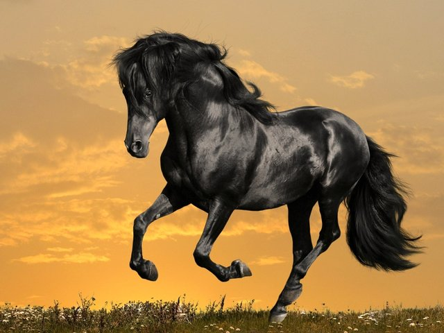 Arabian Black Horse Wallpaper - Wallpaper of a charming refined black Arabian horse with metallic sheen on his hair coat. The Arabian horse is one of the oldest breeds that originated on the Arabian Peninsula. All Arabian horses have black skin which provides protection from the intense desert sun, but the black coat absorbs heat and because of that the black horses are good for hard work in areas with colder climate. The Arabian horses are classified as breeds with 'hot blood' and good temperament. Their sensitivity and intelligence enables a quick learning and greater communication with their riders, including under 18 years. - , black, Arabian, horse, horses, wallpaper, wallpapers, animals, animal, charming, refined, metallic, sheen, hair, coat, coats, oldest, breeds, breed, Peninsula, skin, skins, protection, protections, intense, desert, deserts, sun, heat, hard, work, works, areas, area, colder, climate, climates, hot, blood, temperament, temperaments, sensitivity, intelligence, quick, learning, learnings, communication, communications, riders, rider, years, year - Wallpaper of a charming refined black Arabian horse with metallic sheen on his hair coat. The Arabian horse is one of the oldest breeds that originated on the Arabian Peninsula. All Arabian horses have black skin which provides protection from the intense desert sun, but the black coat absorbs heat and because of that the black horses are good for hard work in areas with colder climate. The Arabian horses are classified as breeds with 'hot blood' and good temperament. Their sensitivity and intelligence enables a quick learning and greater communication with their riders, including under 18 years. Решайте бесплатные онлайн Arabian Black Horse Wallpaper пазлы игры или отправьте Arabian Black Horse Wallpaper пазл игру приветственную открытку  из puzzles-games.eu.. Arabian Black Horse Wallpaper пазл, пазлы, пазлы игры, puzzles-games.eu, пазл игры, онлайн пазл игры, игры пазлы бесплатно, бесплатно онлайн пазл игры, Arabian Black Horse Wallpaper бесплатно пазл игра, Arabian Black Horse Wallpaper онлайн пазл игра , jigsaw puzzles, Arabian Black Horse Wallpaper jigsaw puzzle, jigsaw puzzle games, jigsaw puzzles games, Arabian Black Horse Wallpaper пазл игра открытка, пазлы игры открытки, Arabian Black Horse Wallpaper пазл игра приветственная открытка