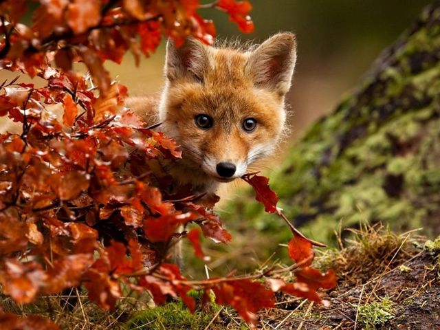 Autumn Magic Red Fox by Robert Adamec - A beautiful and amazingly colorful photo by Robert Adamec of an adorable young red fox, who enjoys the magic of the autumn, a landscape filled with the fascinating beauty of bright colors, crystal clear air and golden rays of the sun.<br /> The photographer Robert Adamec was born in 1964, based in Prerov, Czech Republic, known mostly with pictures in close-up of animals, birds and insects. - , autumn, magic, red, fox, foxes, Robert, Adamec, animals, animal, nature, natures, art, arts, beautiful, amazingly, colorful, photo, photos, adorable, young, landscape, landscapes, fascinating, beauty, bright, colors, color, crystal, clear, air, golden, rays, ray, sun, photographer, photographers, Prerov, Czech, Republic, pictures, picture, closeup, birds, bird, insects, insect - A beautiful and amazingly colorful photo by Robert Adamec of an adorable young red fox, who enjoys the magic of the autumn, a landscape filled with the fascinating beauty of bright colors, crystal clear air and golden rays of the sun.<br /> The photographer Robert Adamec was born in 1964, based in Prerov, Czech Republic, known mostly with pictures in close-up of animals, birds and insects. Solve free online Autumn Magic Red Fox by Robert Adamec puzzle games or send Autumn Magic Red Fox by Robert Adamec puzzle game greeting ecards  from puzzles-games.eu.. Autumn Magic Red Fox by Robert Adamec puzzle, puzzles, puzzles games, puzzles-games.eu, puzzle games, online puzzle games, free puzzle games, free online puzzle games, Autumn Magic Red Fox by Robert Adamec free puzzle game, Autumn Magic Red Fox by Robert Adamec online puzzle game, jigsaw puzzles, Autumn Magic Red Fox by Robert Adamec jigsaw puzzle, jigsaw puzzle games, jigsaw puzzles games, Autumn Magic Red Fox by Robert Adamec puzzle game ecard, puzzles games ecards, Autumn Magic Red Fox by Robert Adamec puzzle game greeting ecard