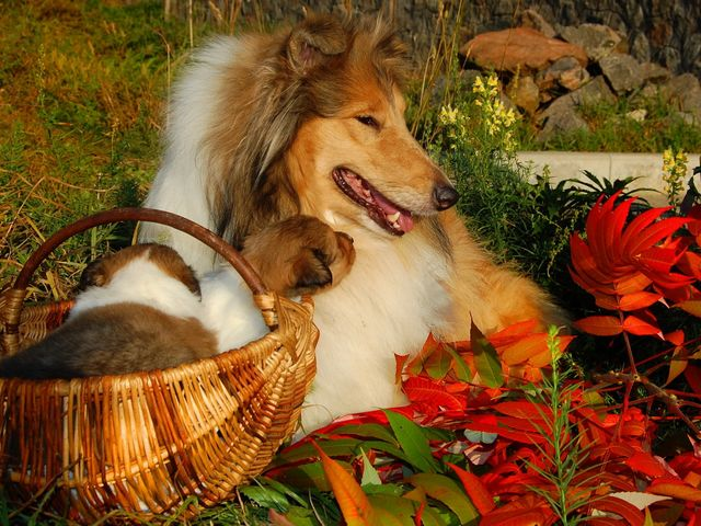 Autumn Scene Scottish Shepherd Dog (Collie) - Beautiful autumn scene with a gorgeous specimen of a long-haired Collie dog (Scottish shepherd dog) and her adorable puppies.<br /> Scotch Collie dogs were descended from an ancient wild breed of dogs, mainly from the pastoral regions of England, Scotland and Wales, which were used as herding dogs by shepherds, drovers, farmers and highlanders. Their dogs (unlike the hunting dogs), had to be hardy enough to survive and to do not require special care. <br /> Today, the descendants of Scotch Collie (simply called the Collie) include several breeds such as Border Collies, English Shepherds, Australian Shepherds and Shetland Sheepdogs. They are further divided by the type of coat as long-haired Collies and short-haired Collies. The modern Collie is grown as a dog for companion and defender for the family and children, as a working dog, a show dog, or as a dog for performance and sports. - , autumn, scene, scenes, Scottish, shepherd, shepherds, dog, dogs, Collie, animals, animal, nature, natures, beautiful, gorgeous, specimen, specimens, long-haired, adorable, puppies, puppy, Scotch, ancient, wild, breed, breeds, pastoral, regions, region, England, Scotland, Wales, herding, drovers, drover, farmers, farmer, highlanders, highlander, hunting, hardy, special, care, today, descendants, descendant, breeds, breed, Border, English, Australian, Shetland, Sheepdogs, type, types, coat, coats, short-haired, modern, companion, companions, defender, defenders, family, families, children, child, working, show, shows, performance, performances, sports, sport - Beautiful autumn scene with a gorgeous specimen of a long-haired Collie dog (Scottish shepherd dog) and her adorable puppies.<br /> Scotch Collie dogs were descended from an ancient wild breed of dogs, mainly from the pastoral regions of England, Scotland and Wales, which were used as herding dogs by shepherds, drovers, farmers and highlanders. Their dogs (unlike the hunting dogs), had to be hardy enough to survive and to do not require special care. <br /> Today, the descendants of Scotch Collie (simply called the Collie) include several breeds such as Border Collies, English Shepherds, Australian Shepherds and Shetland Sheepdogs. They are further divided by the type of coat as long-haired Collies and short-haired Collies. The modern Collie is grown as a dog for companion and defender for the family and children, as a working dog, a show dog, or as a dog for performance and sports. Solve free online Autumn Scene Scottish Shepherd Dog (Collie) puzzle games or send Autumn Scene Scottish Shepherd Dog (Collie) puzzle game greeting ecards  from puzzles-games.eu.. Autumn Scene Scottish Shepherd Dog (Collie) puzzle, puzzles, puzzles games, puzzles-games.eu, puzzle games, online puzzle games, free puzzle games, free online puzzle games, Autumn Scene Scottish Shepherd Dog (Collie) free puzzle game, Autumn Scene Scottish Shepherd Dog (Collie) online puzzle game, jigsaw puzzles, Autumn Scene Scottish Shepherd Dog (Collie) jigsaw puzzle, jigsaw puzzle games, jigsaw puzzles games, Autumn Scene Scottish Shepherd Dog (Collie) puzzle game ecard, puzzles games ecards, Autumn Scene Scottish Shepherd Dog (Collie) puzzle game greeting ecard