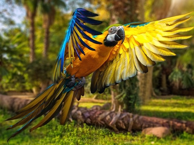 Blue-and-Yellow Macaw Wallpaper - Wallpaper with a beautiful blue-and-yellow macaw (Ara ararauna), a large bird that can reach a length of 76 - 86 cm and a weight of 0.900 - 1.5 kg, inhabiting the woodlands of Central and tropical South America. Blue-and-yellow macaws live from 30 to 35 years in the wild. The parrot uses its powerful beak for breaking nutshells, for climbing up and hanging from trees. Blue-and-yellow macaws are very intelligent and social birds, with bright colors and ability to speak, because of which they are popular as pets. In captivity, due to their large size, they need plenty of space in which they can fly. - , blue, yellow, macaw, macaws, wallpaper, wallpapers, animals, animal, birds, bird, beautiful, Ara, ararauna, large, length, weight, woodlands, woodland, Central, tropical, South, America, years, year, wild, parrot, parrots, powerful, beak, beaks, nutshells, nutshell, trees, tree, intelligent, social, bright, colors, color, ability, popular, pets, pet, captivity, size, plenty, space - Wallpaper with a beautiful blue-and-yellow macaw (Ara ararauna), a large bird that can reach a length of 76 - 86 cm and a weight of 0.900 - 1.5 kg, inhabiting the woodlands of Central and tropical South America. Blue-and-yellow macaws live from 30 to 35 years in the wild. The parrot uses its powerful beak for breaking nutshells, for climbing up and hanging from trees. Blue-and-yellow macaws are very intelligent and social birds, with bright colors and ability to speak, because of which they are popular as pets. In captivity, due to their large size, they need plenty of space in which they can fly. Solve free online Blue-and-Yellow Macaw Wallpaper puzzle games or send Blue-and-Yellow Macaw Wallpaper puzzle game greeting ecards  from puzzles-games.eu.. Blue-and-Yellow Macaw Wallpaper puzzle, puzzles, puzzles games, puzzles-games.eu, puzzle games, online puzzle games, free puzzle games, free online puzzle games, Blue-and-Yellow Macaw Wallpaper free puzzle game, Blue-and-Yellow Macaw Wallpaper online puzzle game, jigsaw puzzles, Blue-and-Yellow Macaw Wallpaper jigsaw puzzle, jigsaw puzzle games, jigsaw puzzles games, Blue-and-Yellow Macaw Wallpaper puzzle game ecard, puzzles games ecards, Blue-and-Yellow Macaw Wallpaper puzzle game greeting ecard