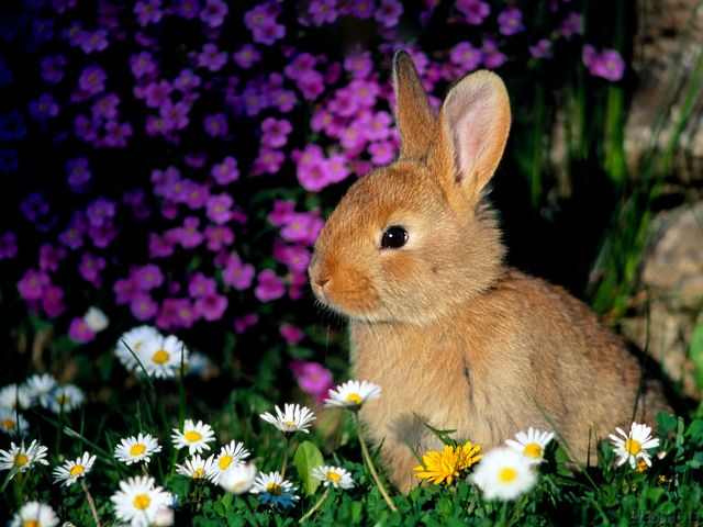 Bunny among Flowers Wallpaper - Wallpaper depicting a bunny among beautiful flowers in the spring. - , bunny, bunnies, flowers, flower, wallpaper, wallpapers, animals, animal, cartoon, cartoons, holidays, holiday - Wallpaper depicting a bunny among beautiful flowers in the spring. Solve free online Bunny among Flowers Wallpaper puzzle games or send Bunny among Flowers Wallpaper puzzle game greeting ecards  from puzzles-games.eu.. Bunny among Flowers Wallpaper puzzle, puzzles, puzzles games, puzzles-games.eu, puzzle games, online puzzle games, free puzzle games, free online puzzle games, Bunny among Flowers Wallpaper free puzzle game, Bunny among Flowers Wallpaper online puzzle game, jigsaw puzzles, Bunny among Flowers Wallpaper jigsaw puzzle, jigsaw puzzle games, jigsaw puzzles games, Bunny among Flowers Wallpaper puzzle game ecard, puzzles games ecards, Bunny among Flowers Wallpaper puzzle game greeting ecard