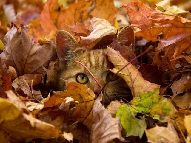 Cat among Fallen Autumn Leaves Wallpaper - A beautiful wallpaper for desktop with warm autumn colors and red-haired cat who happily plays hide and seek, hidden among the fallen leaves in beech forest. Fall is a favorite season for many people and animals who enjoy the picturesque scenery. - , cat, cats, fallen, autumn, leaves, leaf, wallpaper, wallpapers, animals, animal, nature, natures, beautiful, desktop, warm, colors, color, red-haired, hidden, fallen, beech, forest, forests, fall, favorite, season, seasons, people, picturesque, scenery - A beautiful wallpaper for desktop with warm autumn colors and red-haired cat who happily plays hide and seek, hidden among the fallen leaves in beech forest. Fall is a favorite season for many people and animals who enjoy the picturesque scenery. Solve free online Cat among Fallen Autumn Leaves Wallpaper puzzle games or send Cat among Fallen Autumn Leaves Wallpaper puzzle game greeting ecards  from puzzles-games.eu.. Cat among Fallen Autumn Leaves Wallpaper puzzle, puzzles, puzzles games, puzzles-games.eu, puzzle games, online puzzle games, free puzzle games, free online puzzle games, Cat among Fallen Autumn Leaves Wallpaper free puzzle game, Cat among Fallen Autumn Leaves Wallpaper online puzzle game, jigsaw puzzles, Cat among Fallen Autumn Leaves Wallpaper jigsaw puzzle, jigsaw puzzle games, jigsaw puzzles games, Cat among Fallen Autumn Leaves Wallpaper puzzle game ecard, puzzles games ecards, Cat among Fallen Autumn Leaves Wallpaper puzzle game greeting ecard