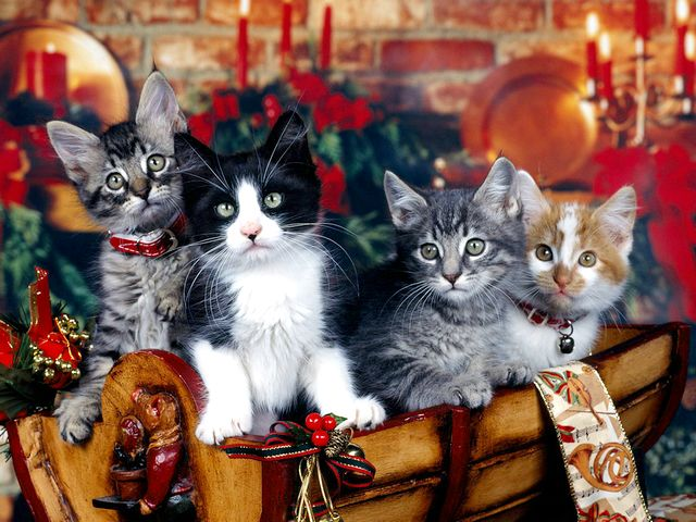 Christmas Kittens Wallpaper - Wallpaper with four wonderful kittens among a colorful Christmas decoration. - , Christmas, kittens, kitten, wallpaper, wallpapers, animals, animal, cartoons, cartoon, holiday, holidays, feast, feasts, festivity, festivities, celebration, celebrations, seasons, season, wonderful, colorful, decoration, decorations - Wallpaper with four wonderful kittens among a colorful Christmas decoration. Solve free online Christmas Kittens Wallpaper puzzle games or send Christmas Kittens Wallpaper puzzle game greeting ecards  from puzzles-games.eu.. Christmas Kittens Wallpaper puzzle, puzzles, puzzles games, puzzles-games.eu, puzzle games, online puzzle games, free puzzle games, free online puzzle games, Christmas Kittens Wallpaper free puzzle game, Christmas Kittens Wallpaper online puzzle game, jigsaw puzzles, Christmas Kittens Wallpaper jigsaw puzzle, jigsaw puzzle games, jigsaw puzzles games, Christmas Kittens Wallpaper puzzle game ecard, puzzles games ecards, Christmas Kittens Wallpaper puzzle game greeting ecard