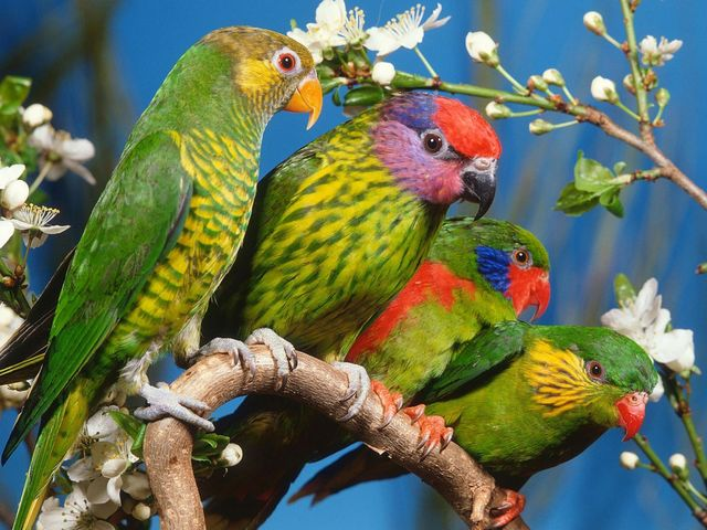 Colorful Parrots Wallpaper - Wallpaper with lovely colorful parrots on a branch in so many vibrant colors, so some seem to have all rainbow colors. Many people enjoy the birds with different colours, shapes of feathers, beaks and their social behaviour, and often breed them as pets. - , colorful, parrots, parrot, wallpaper, wallpapers, animals, animal, lovely, branch, branches, vibrant, rainbow, people, birds, bird, different, shapes, feathers, feather, beaks, beak, social, behaviour, pets, pet - Wallpaper with lovely colorful parrots on a branch in so many vibrant colors, so some seem to have all rainbow colors. Many people enjoy the birds with different colours, shapes of feathers, beaks and their social behaviour, and often breed them as pets. Solve free online Colorful Parrots Wallpaper puzzle games or send Colorful Parrots Wallpaper puzzle game greeting ecards  from puzzles-games.eu.. Colorful Parrots Wallpaper puzzle, puzzles, puzzles games, puzzles-games.eu, puzzle games, online puzzle games, free puzzle games, free online puzzle games, Colorful Parrots Wallpaper free puzzle game, Colorful Parrots Wallpaper online puzzle game, jigsaw puzzles, Colorful Parrots Wallpaper jigsaw puzzle, jigsaw puzzle games, jigsaw puzzles games, Colorful Parrots Wallpaper puzzle game ecard, puzzles games ecards, Colorful Parrots Wallpaper puzzle game greeting ecard