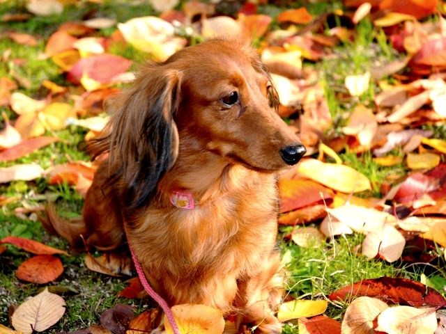 Dachshund on Autumn Carpet Wallpaper - Beautiful wallpaper with an adorable long-haired dachshund sitting on an autumn carpet. The standard size dachshund was breed for chase of badgers, while the miniature dachshund to hunt rabbits, foxes and other small prey, for locating wounded deers and in 'packs' for wild boars. The name 'dachshund' in German means a 'badger dog', but is more commonly known as Dackel or Teckel. Because of the long body, the nickname of this breed is a 'wiener dog' or 'sausage dog'. - , dachshund, dachshunds, autumn, carpet, carpets, wallpaper, wallpapers, animals, animal, beautiful, adorable, long-haired, standard, size, sizes, breed, chase, badgers, badger, miniature, rabbits, rabbit, foxes, fox, small, prey, wounded, deers, deer, packs, pack, wild, boars, boar, name, names, German, dackel, teckel, long, body, bodies, nickname, nicknames, wiener, wieners, sausage, sausages - Beautiful wallpaper with an adorable long-haired dachshund sitting on an autumn carpet. The standard size dachshund was breed for chase of badgers, while the miniature dachshund to hunt rabbits, foxes and other small prey, for locating wounded deers and in 'packs' for wild boars. The name 'dachshund' in German means a 'badger dog', but is more commonly known as Dackel or Teckel. Because of the long body, the nickname of this breed is a 'wiener dog' or 'sausage dog'. Solve free online Dachshund on Autumn Carpet Wallpaper puzzle games or send Dachshund on Autumn Carpet Wallpaper puzzle game greeting ecards  from puzzles-games.eu.. Dachshund on Autumn Carpet Wallpaper puzzle, puzzles, puzzles games, puzzles-games.eu, puzzle games, online puzzle games, free puzzle games, free online puzzle games, Dachshund on Autumn Carpet Wallpaper free puzzle game, Dachshund on Autumn Carpet Wallpaper online puzzle game, jigsaw puzzles, Dachshund on Autumn Carpet Wallpaper jigsaw puzzle, jigsaw puzzle games, jigsaw puzzles games, Dachshund on Autumn Carpet Wallpaper puzzle game ecard, puzzles games ecards, Dachshund on Autumn Carpet Wallpaper puzzle game greeting ecard