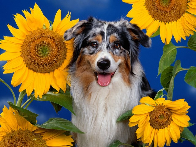 Dog among Sunflowers - A postcard of dog among sunflowers. - , dog, dogs, sunflowers, sunflower, animals, animal, postcard, postcards - A postcard of dog among sunflowers. Solve free online Dog among Sunflowers puzzle games or send Dog among Sunflowers puzzle game greeting ecards  from puzzles-games.eu.. Dog among Sunflowers puzzle, puzzles, puzzles games, puzzles-games.eu, puzzle games, online puzzle games, free puzzle games, free online puzzle games, Dog among Sunflowers free puzzle game, Dog among Sunflowers online puzzle game, jigsaw puzzles, Dog among Sunflowers jigsaw puzzle, jigsaw puzzle games, jigsaw puzzles games, Dog among Sunflowers puzzle game ecard, puzzles games ecards, Dog among Sunflowers puzzle game greeting ecard