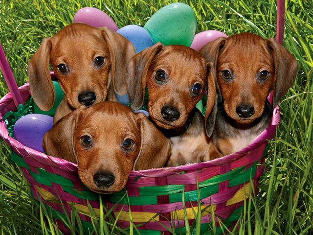 Easter Dachshund Puppies in Basket Greeting Card - Beautiful greeting card for the Easter holidays with little adorable dachshunds puppies, just a 12-week-old and coloured decorative eggs in a wicker basket. - , Easter, dachshund, dachshunds, puppies, puppy, basket, baskets, greeting, card, cards, animals, animal, holidays, holiday, cartoon, cartoons, beautiful, little, adorable, week, weeks, coloured, decorative, eggs, egg, wicker - Beautiful greeting card for the Easter holidays with little adorable dachshunds puppies, just a 12-week-old and coloured decorative eggs in a wicker basket. Solve free online Easter Dachshund Puppies in Basket Greeting Card puzzle games or send Easter Dachshund Puppies in Basket Greeting Card puzzle game greeting ecards  from puzzles-games.eu.. Easter Dachshund Puppies in Basket Greeting Card puzzle, puzzles, puzzles games, puzzles-games.eu, puzzle games, online puzzle games, free puzzle games, free online puzzle games, Easter Dachshund Puppies in Basket Greeting Card free puzzle game, Easter Dachshund Puppies in Basket Greeting Card online puzzle game, jigsaw puzzles, Easter Dachshund Puppies in Basket Greeting Card jigsaw puzzle, jigsaw puzzle games, jigsaw puzzles games, Easter Dachshund Puppies in Basket Greeting Card puzzle game ecard, puzzles games ecards, Easter Dachshund Puppies in Basket Greeting Card puzzle game greeting ecard