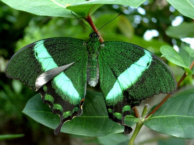 Emerald Swallowtail Butterfly - Emerald Swallowtail, Emerald Peacock, Banded Peacock or Green Peacock (Papilio palinurus) is a very beautiful butterfly of the genus Papilio, belonging to Papilionidae family, widespread to Southeast Asia, throughout India, Sri Lanka and Pakistan. <br /> Papilio palinurus has a wingspan about 8–10 cm. Its name comes from the <br /> stunning emerald color that literally sparkles on the wings. The green sheen comes from mixing of the yellow and the blue color of the overlapping flakes on the wings, which refract the light. The broad bright emerald green metallic bands and black patterns on the wings, resemble coloration of the peacock, which distinguish them apart from other species. <br /> The Emerald Swallowtail butterfly is known for its quite fast flight, high up in the forest canopy. - , Emerald, Swallowtail, butterfly, butterflies, animals, animal, peacock, peacocks, banded, green, Papilio, palinurus, beautiful, genus, Papilio, Papilionidae, family, families, Southeast, Asia, India, Sri, Lanka, Pakistan, wingspan, stunning, color, wings, wing, sheen, yellow, blue, flakes, flake, light, broad, bright, metallic, bands, black, patterns, coloration, species, flight, forest, canopy - Emerald Swallowtail, Emerald Peacock, Banded Peacock or Green Peacock (Papilio palinurus) is a very beautiful butterfly of the genus Papilio, belonging to Papilionidae family, widespread to Southeast Asia, throughout India, Sri Lanka and Pakistan. <br /> Papilio palinurus has a wingspan about 8–10 cm. Its name comes from the <br /> stunning emerald color that literally sparkles on the wings. The green sheen comes from mixing of the yellow and the blue color of the overlapping flakes on the wings, which refract the light. The broad bright emerald green metallic bands and black patterns on the wings, resemble coloration of the peacock, which distinguish them apart from other species. <br /> The Emerald Swallowtail butterfly is known for its quite fast flight, high up in the forest canopy. Solve free online Emerald Swallowtail Butterfly puzzle games or send Emerald Swallowtail Butterfly puzzle game greeting ecards  from puzzles-games.eu.. Emerald Swallowtail Butterfly puzzle, puzzles, puzzles games, puzzles-games.eu, puzzle games, online puzzle games, free puzzle games, free online puzzle games, Emerald Swallowtail Butterfly free puzzle game, Emerald Swallowtail Butterfly online puzzle game, jigsaw puzzles, Emerald Swallowtail Butterfly jigsaw puzzle, jigsaw puzzle games, jigsaw puzzles games, Emerald Swallowtail Butterfly puzzle game ecard, puzzles games ecards, Emerald Swallowtail Butterfly puzzle game greeting ecard