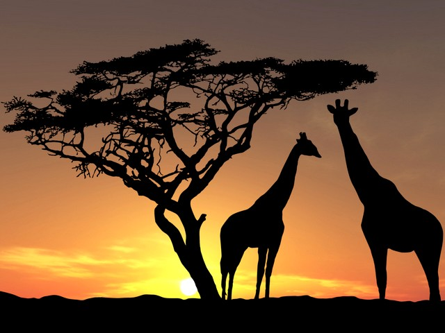 Giraffes Shadows at Sunset in Savanna Africa Wallpaper - Wallpaper with beautiful shadows of giraffes under an acacia at sunset in the Savanna of Africa, the hottest continent on the earth. - , giraffes, giraffe, shadows, shadow, sunset, sunsets, savanna, savannas, savannah, savannahs, Africa, wallpaper, wallpapers, animals, animal, cartoons, cartoon, places, place, nature, natures, travel, travels, tour, tours, trip, trips, beautiful, acacia, acacias, hottest, continent, continents, earth, earths - Wallpaper with beautiful shadows of giraffes under an acacia at sunset in the Savanna of Africa, the hottest continent on the earth. Solve free online Giraffes Shadows at Sunset in Savanna Africa Wallpaper puzzle games or send Giraffes Shadows at Sunset in Savanna Africa Wallpaper puzzle game greeting ecards  from puzzles-games.eu.. Giraffes Shadows at Sunset in Savanna Africa Wallpaper puzzle, puzzles, puzzles games, puzzles-games.eu, puzzle games, online puzzle games, free puzzle games, free online puzzle games, Giraffes Shadows at Sunset in Savanna Africa Wallpaper free puzzle game, Giraffes Shadows at Sunset in Savanna Africa Wallpaper online puzzle game, jigsaw puzzles, Giraffes Shadows at Sunset in Savanna Africa Wallpaper jigsaw puzzle, jigsaw puzzle games, jigsaw puzzles games, Giraffes Shadows at Sunset in Savanna Africa Wallpaper puzzle game ecard, puzzles games ecards, Giraffes Shadows at Sunset in Savanna Africa Wallpaper puzzle game greeting ecard