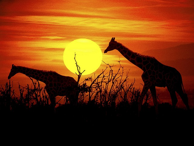 Giraffes at the Savanna of Kenya Africa Wallpaper - Puzzles-Games