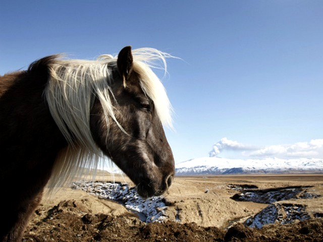 Horse in front of the Volcano - A picture of horse in front of the erupted volcano under the Eyjafjallajokul glacier in Iceland. - , horse, horses, volcano, volcanos, animals, animal, Eyjafjallajokul, glacier, glaciers, Iceland - A picture of horse in front of the erupted volcano under the Eyjafjallajokul glacier in Iceland. Solve free online Horse in front of the Volcano puzzle games or send Horse in front of the Volcano puzzle game greeting ecards  from puzzles-games.eu.. Horse in front of the Volcano puzzle, puzzles, puzzles games, puzzles-games.eu, puzzle games, online puzzle games, free puzzle games, free online puzzle games, Horse in front of the Volcano free puzzle game, Horse in front of the Volcano online puzzle game, jigsaw puzzles, Horse in front of the Volcano jigsaw puzzle, jigsaw puzzle games, jigsaw puzzles games, Horse in front of the Volcano puzzle game ecard, puzzles games ecards, Horse in front of the Volcano puzzle game greeting ecard