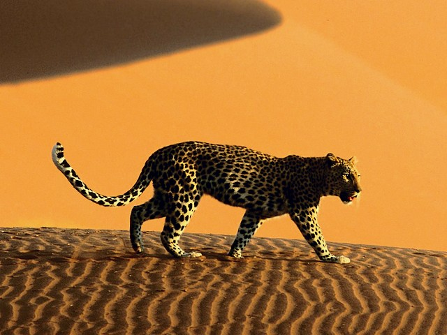 Leopard crosses Sand Dunes of Sossusvlei Park Namibia Africa - Leopard crosses the giant sand dunes of Sossusvlei Park in the heart of the Namibia desert, Africa, with a surface which is permanently changed by the wind. Some of dunes reach a height of 300 meters and are the highest in the world. - , leopard, leopards, sand, dunes, dune, Sossusvlei, park, parks, Namibia, Africa, animals, animal, places, place, nature, natures, travel, travels, tour, tours, trip, trips, giant, heart, hearts, desert, deserts, surface, surfaces, permanently, wind, winds, height, of, 300, meters, meter, metres, metre, highest, world, worlds - Leopard crosses the giant sand dunes of Sossusvlei Park in the heart of the Namibia desert, Africa, with a surface which is permanently changed by the wind. Some of dunes reach a height of 300 meters and are the highest in the world. Solve free online Leopard crosses Sand Dunes of Sossusvlei Park Namibia Africa puzzle games or send Leopard crosses Sand Dunes of Sossusvlei Park Namibia Africa puzzle game greeting ecards  from puzzles-games.eu.. Leopard crosses Sand Dunes of Sossusvlei Park Namibia Africa puzzle, puzzles, puzzles games, puzzles-games.eu, puzzle games, online puzzle games, free puzzle games, free online puzzle games, Leopard crosses Sand Dunes of Sossusvlei Park Namibia Africa free puzzle game, Leopard crosses Sand Dunes of Sossusvlei Park Namibia Africa online puzzle game, jigsaw puzzles, Leopard crosses Sand Dunes of Sossusvlei Park Namibia Africa jigsaw puzzle, jigsaw puzzle games, jigsaw puzzles games, Leopard crosses Sand Dunes of Sossusvlei Park Namibia Africa puzzle game ecard, puzzles games ecards, Leopard crosses Sand Dunes of Sossusvlei Park Namibia Africa puzzle game greeting ecard