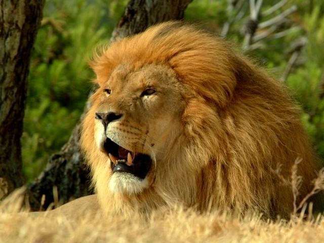 Lion Male - A male lion is easyly distinguished by its rich mate. The lion (Pantera Leo) is a second largest cat after the tiger. - , lion, lions, male, animals, animal, cat, cats, tiger, tigers, Pantera, Leo - A male lion is easyly distinguished by its rich mate. The lion (Pantera Leo) is a second largest cat after the tiger. Lösen Sie kostenlose Lion Male Online Puzzle Spiele oder senden Sie Lion Male Puzzle Spiel Gruß ecards  from puzzles-games.eu.. Lion Male puzzle, Rätsel, puzzles, Puzzle Spiele, puzzles-games.eu, puzzle games, Online Puzzle Spiele, kostenlose Puzzle Spiele, kostenlose Online Puzzle Spiele, Lion Male kostenlose Puzzle Spiel, Lion Male Online Puzzle Spiel, jigsaw puzzles, Lion Male jigsaw puzzle, jigsaw puzzle games, jigsaw puzzles games, Lion Male Puzzle Spiel ecard, Puzzles Spiele ecards, Lion Male Puzzle Spiel Gruß ecards