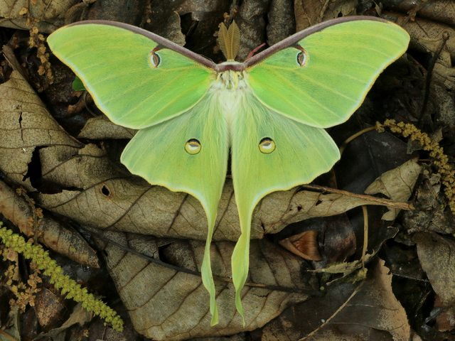 Luna Moth - The Luna moth (Actias luna) with a wingspan of up to 114 mm is one of the largest moths, widespread in North America, northern Mexico, from Quebec to Nova Scotia in Canada, as far south as central Florida. The Luna moth is a lime-green, Nearctic Saturniid moth in the family Saturniidae, which appears more commonly at night, with long pointed hind wings and eye spots on them in order to confuse potential predators. The adults do not eat and live approximately one week solely to mate. - , Luna, moth, moths, animals, animal, Actias, wingspan, North, America, northern, Mexico, Quebec, Nova, Scottia, Canada, south, central, Florida, lime, green, Nearctic, Saturniid, family, families, Saturniidae, night, pointed, hind, wings, wing, eye, spots, spot, potential, predators, predator, adults, adult, week, weeks - The Luna moth (Actias luna) with a wingspan of up to 114 mm is one of the largest moths, widespread in North America, northern Mexico, from Quebec to Nova Scotia in Canada, as far south as central Florida. The Luna moth is a lime-green, Nearctic Saturniid moth in the family Saturniidae, which appears more commonly at night, with long pointed hind wings and eye spots on them in order to confuse potential predators. The adults do not eat and live approximately one week solely to mate. Solve free online Luna Moth puzzle games or send Luna Moth puzzle game greeting ecards  from puzzles-games.eu.. Luna Moth puzzle, puzzles, puzzles games, puzzles-games.eu, puzzle games, online puzzle games, free puzzle games, free online puzzle games, Luna Moth free puzzle game, Luna Moth online puzzle game, jigsaw puzzles, Luna Moth jigsaw puzzle, jigsaw puzzle games, jigsaw puzzles games, Luna Moth puzzle game ecard, puzzles games ecards, Luna Moth puzzle game greeting ecard
