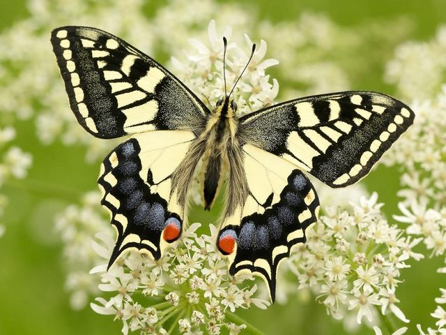 Old World Swallowtail Butterfly - Old World Swallowtail, known as the Common Yellow Swallowtail or simply Swallowtail (Papilio machaon) is a butterfly of the genus Papilio in family Papilionidae. Despite the common name, it is not restricted only to the Old World. Papilio machaon is widespread throughout Europe, Asia and across North America. It has pale yellow wings and a wingspan of 65-86 millimeters, marked with black veins, and a pair of protruding tails which give the name of this butterfly with a red 'eye-spots' on each tail.  <br /> The Old World Swallowtail butterfly has a strong and fast flight and frequently visits alpine meadows and hillsides. At the lower elevations, it can be seen in the gardens, where feeds on plants of family Umbelliferae. - , Old, World, Swallowtail, butterfly, butterflies, animals, animal, Common, Yellow, Papilio, machaon, genus, Papilio, family, Papilionidae, Europe, Asia, North, America, pale, wings, wing, wingspan, black, veins, vein, pair, tails, tail, name, red, eye, spots, spot, strong, fast, flight, alpine, meadows, meadow, hillsides, hillside, elevations, elevation, gardens, garden, plants, Umbelliferae - Old World Swallowtail, known as the Common Yellow Swallowtail or simply Swallowtail (Papilio machaon) is a butterfly of the genus Papilio in family Papilionidae. Despite the common name, it is not restricted only to the Old World. Papilio machaon is widespread throughout Europe, Asia and across North America. It has pale yellow wings and a wingspan of 65-86 millimeters, marked with black veins, and a pair of protruding tails which give the name of this butterfly with a red 'eye-spots' on each tail.  <br /> The Old World Swallowtail butterfly has a strong and fast flight and frequently visits alpine meadows and hillsides. At the lower elevations, it can be seen in the gardens, where feeds on plants of family Umbelliferae. Solve free online Old World Swallowtail Butterfly puzzle games or send Old World Swallowtail Butterfly puzzle game greeting ecards  from puzzles-games.eu.. Old World Swallowtail Butterfly puzzle, puzzles, puzzles games, puzzles-games.eu, puzzle games, online puzzle games, free puzzle games, free online puzzle games, Old World Swallowtail Butterfly free puzzle game, Old World Swallowtail Butterfly online puzzle game, jigsaw puzzles, Old World Swallowtail Butterfly jigsaw puzzle, jigsaw puzzle games, jigsaw puzzles games, Old World Swallowtail Butterfly puzzle game ecard, puzzles games ecards, Old World Swallowtail Butterfly puzzle game greeting ecard