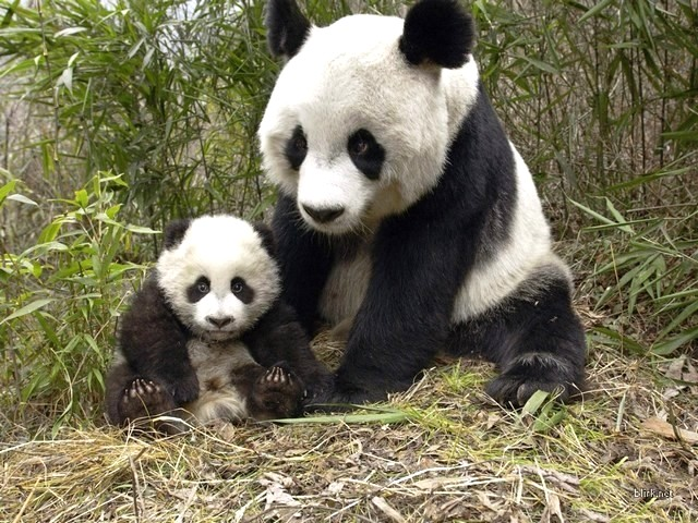 Panda Bear - Giant Panda bear with a baby. - , Panda, bear, bears, animals, animal, baby - Giant Panda bear with a baby. Solve free online Panda Bear puzzle games or send Panda Bear puzzle game greeting ecards  from puzzles-games.eu.. Panda Bear puzzle, puzzles, puzzles games, puzzles-games.eu, puzzle games, online puzzle games, free puzzle games, free online puzzle games, Panda Bear free puzzle game, Panda Bear online puzzle game, jigsaw puzzles, Panda Bear jigsaw puzzle, jigsaw puzzle games, jigsaw puzzles games, Panda Bear puzzle game ecard, puzzles games ecards, Panda Bear puzzle game greeting ecard