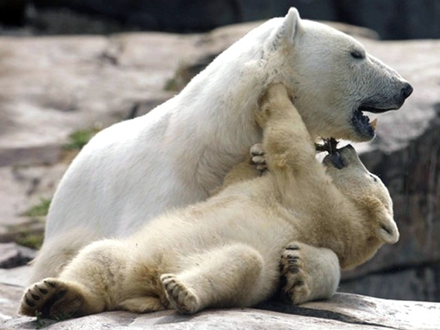 Polar Bear Cub with Mother - The six month polar bear's cub with its mother Aisaqvaq at St. Felicien Wildlife Zoo in Quebec, Canada (June 2, 2010). - , polar, bear, bears, cub, cubs, mother, mothers, animals, animal, Aisaqvaq, St., Felicien, Wildlife, Zoo, Quebec, Canada - The six month polar bear's cub with its mother Aisaqvaq at St. Felicien Wildlife Zoo in Quebec, Canada (June 2, 2010). Solve free online Polar Bear Cub with Mother puzzle games or send Polar Bear Cub with Mother puzzle game greeting ecards  from puzzles-games.eu.. Polar Bear Cub with Mother puzzle, puzzles, puzzles games, puzzles-games.eu, puzzle games, online puzzle games, free puzzle games, free online puzzle games, Polar Bear Cub with Mother free puzzle game, Polar Bear Cub with Mother online puzzle game, jigsaw puzzles, Polar Bear Cub with Mother jigsaw puzzle, jigsaw puzzle games, jigsaw puzzles games, Polar Bear Cub with Mother puzzle game ecard, puzzles games ecards, Polar Bear Cub with Mother puzzle game greeting ecard