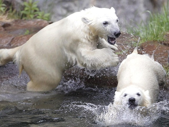 Polar Bear Cubs play in Water - The polar bear's cubs born on November 30, 2009 play in water at the St. Felicien Wildlife Zoo in Quebec, Canada (June 2, 2010). - , polar, bear, bears, cubs, cub, water, waters, animals, animal, St., Felicien, Wildlife, Zoo, Quebec, Canada - The polar bear's cubs born on November 30, 2009 play in water at the St. Felicien Wildlife Zoo in Quebec, Canada (June 2, 2010). Solve free online Polar Bear Cubs play in Water puzzle games or send Polar Bear Cubs play in Water puzzle game greeting ecards  from puzzles-games.eu.. Polar Bear Cubs play in Water puzzle, puzzles, puzzles games, puzzles-games.eu, puzzle games, online puzzle games, free puzzle games, free online puzzle games, Polar Bear Cubs play in Water free puzzle game, Polar Bear Cubs play in Water online puzzle game, jigsaw puzzles, Polar Bear Cubs play in Water jigsaw puzzle, jigsaw puzzle games, jigsaw puzzles games, Polar Bear Cubs play in Water puzzle game ecard, puzzles games ecards, Polar Bear Cubs play in Water puzzle game greeting ecard