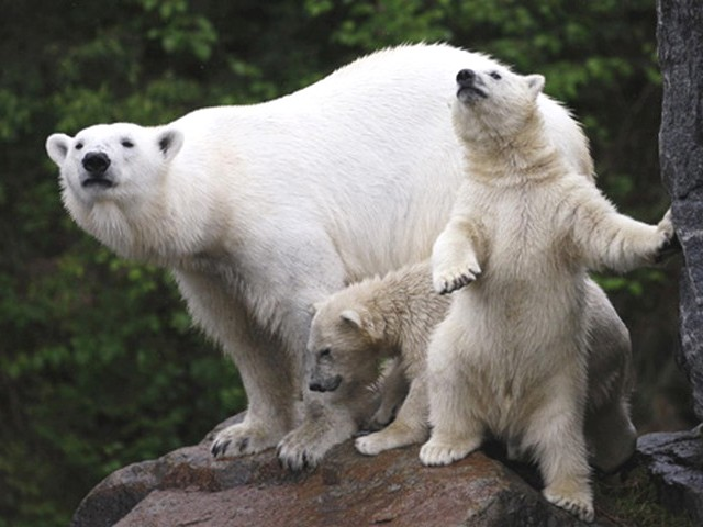 Polar Bear Cubs with Mother - The first public debut of the polar bear's cubs with their mother Aisaqvaq at St. Felicien Wildlife Zoo in Quebec, Canada (June 2, 2010). - , polar, bear, bears, cubs, cub, mother, mothers, animals, animal, public, debut, debutes, Aisaqvaq, St., Felicien, Wildlife, Zoo, Quebec, Canada - The first public debut of the polar bear's cubs with their mother Aisaqvaq at St. Felicien Wildlife Zoo in Quebec, Canada (June 2, 2010). Solve free online Polar Bear Cubs with Mother puzzle games or send Polar Bear Cubs with Mother puzzle game greeting ecards  from puzzles-games.eu.. Polar Bear Cubs with Mother puzzle, puzzles, puzzles games, puzzles-games.eu, puzzle games, online puzzle games, free puzzle games, free online puzzle games, Polar Bear Cubs with Mother free puzzle game, Polar Bear Cubs with Mother online puzzle game, jigsaw puzzles, Polar Bear Cubs with Mother jigsaw puzzle, jigsaw puzzle games, jigsaw puzzles games, Polar Bear Cubs with Mother puzzle game ecard, puzzles games ecards, Polar Bear Cubs with Mother puzzle game greeting ecard