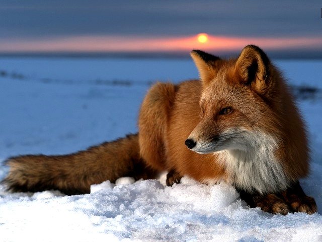Red Fox on Snow at Alaska Arctic Circle - A handsome red fox (Vulpes vulpes) on the snow at an arctic tundra of Alaska. This carnivore is an almost cosmopolitan animal, a cousin to the dog and the largest among the foxes, distributed across the entire Northern Hemisphere from the Arctic Circle to North Africa, Central America and even in Asia and Australia. The red foxes are shy, secretive and cunning nocturnal animals, solitary hunters who feed on rodents, rabbits, birds, and other small game, fruit and vegetables, fish, frogs, and even worms. Theirs thick tail is used as a warm cover in cold weather and for balance. - , red, fox, foxes, snow, Alaska, Arctic, Circle, circles, animals, animal, places, place, travel, travels, tour, tours, trip, trips, handsome, vulpes, tundra, carnivore, carnivores, cosmopolitan, cousin, cousins, dog, dogs, Northern, Hemisphere, North, Africa, Central, America, Asia, Australia, shy, secretive, nocturnal, cunning, solitary, hunters, hunter, rodents, rodent, rabbits, rabbit, birds, bird, game, fruit, vegetables, vegetable, fish, fishes, frogs, fog, worms, worm, thick, tail, tails, warm, cover, covers, cold, weather, balance, balances - A handsome red fox (Vulpes vulpes) on the snow at an arctic tundra of Alaska. This carnivore is an almost cosmopolitan animal, a cousin to the dog and the largest among the foxes, distributed across the entire Northern Hemisphere from the Arctic Circle to North Africa, Central America and even in Asia and Australia. The red foxes are shy, secretive and cunning nocturnal animals, solitary hunters who feed on rodents, rabbits, birds, and other small game, fruit and vegetables, fish, frogs, and even worms. Theirs thick tail is used as a warm cover in cold weather and for balance. Solve free online Red Fox on Snow at Alaska Arctic Circle puzzle games or send Red Fox on Snow at Alaska Arctic Circle puzzle game greeting ecards  from puzzles-games.eu.. Red Fox on Snow at Alaska Arctic Circle puzzle, puzzles, puzzles games, puzzles-games.eu, puzzle games, online puzzle games, free puzzle games, free online puzzle games, Red Fox on Snow at Alaska Arctic Circle free puzzle game, Red Fox on Snow at Alaska Arctic Circle online puzzle game, jigsaw puzzles, Red Fox on Snow at Alaska Arctic Circle jigsaw puzzle, jigsaw puzzle games, jigsaw puzzles games, Red Fox on Snow at Alaska Arctic Circle puzzle game ecard, puzzles games ecards, Red Fox on Snow at Alaska Arctic Circle puzzle game greeting ecard