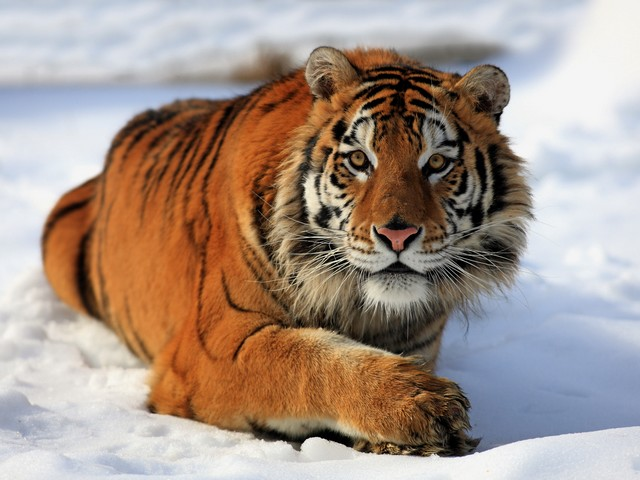 Siberian Tiger Safari in Russia - The Siberian Tiger Safari track tigers in the snowy Durminskoye Reserve, Siberia,  in Russia. <br /> The holiday itinerary has been carefully crafted with guides to give you access to the habitats of the Siberian tiger (also known as the Amur tiger), one of the world's most elusive creatures. - , siberian, tiger, tigers, safari, safaris, in, Russia, animal, animals, snowy, Durminskoye, reserve, Siberia, guides, guide, access, habitats, habitat, Amur, elusive, creatures, creature - The Siberian Tiger Safari track tigers in the snowy Durminskoye Reserve, Siberia,  in Russia. <br /> The holiday itinerary has been carefully crafted with guides to give you access to the habitats of the Siberian tiger (also known as the Amur tiger), one of the world's most elusive creatures. Solve free online Siberian Tiger Safari in Russia puzzle games or send Siberian Tiger Safari in Russia puzzle game greeting ecards  from puzzles-games.eu.. Siberian Tiger Safari in Russia puzzle, puzzles, puzzles games, puzzles-games.eu, puzzle games, online puzzle games, free puzzle games, free online puzzle games, Siberian Tiger Safari in Russia free puzzle game, Siberian Tiger Safari in Russia online puzzle game, jigsaw puzzles, Siberian Tiger Safari in Russia jigsaw puzzle, jigsaw puzzle games, jigsaw puzzles games, Siberian Tiger Safari in Russia puzzle game ecard, puzzles games ecards, Siberian Tiger Safari in Russia puzzle game greeting ecard