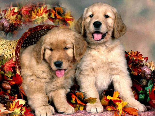 Thanksgiving Golden Retriever Puppies Post Card - A beautiful post card for Thanksgiving with cute Golden Retriever puppies, among cornucopia and autumn leaves decoration. - , Thanksgiving, Golden, Retriever, puppies, puppy, post, card, cards, animals, animal, cartoon, cartoons, holidays, holiday, feast, feasts, nature, natures, season, seasons, beautiful, cute, cornucopia, autumn, leaves, leaf, decoration, decorations - A beautiful post card for Thanksgiving with cute Golden Retriever puppies, among cornucopia and autumn leaves decoration. Solve free online Thanksgiving Golden Retriever Puppies Post Card puzzle games or send Thanksgiving Golden Retriever Puppies Post Card puzzle game greeting ecards  from puzzles-games.eu.. Thanksgiving Golden Retriever Puppies Post Card puzzle, puzzles, puzzles games, puzzles-games.eu, puzzle games, online puzzle games, free puzzle games, free online puzzle games, Thanksgiving Golden Retriever Puppies Post Card free puzzle game, Thanksgiving Golden Retriever Puppies Post Card online puzzle game, jigsaw puzzles, Thanksgiving Golden Retriever Puppies Post Card jigsaw puzzle, jigsaw puzzle games, jigsaw puzzles games, Thanksgiving Golden Retriever Puppies Post Card puzzle game ecard, puzzles games ecards, Thanksgiving Golden Retriever Puppies Post Card puzzle game greeting ecard