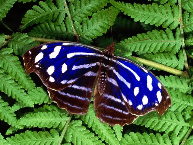 Tropical Blue Wave Butterfly - The Tropical Blue Wave, Blue-banded Purplewing or Royal Blue (Myscelia cyaniris), a.k.a. Cyan Bluewing from Nymphalidae family, is a small but striking beautiful butterfly with iridescent blue stripes of across upperside of wings. The underside is camouflaged in gray and brown, resembling a tree bark. Its wingspan is up to 3 inch.<br /> The Tropical Blue Wave butterfly is widespread in Central America and northern South America, from Mexico to Honduras, Costa Rica, Panama, Venezuela, Ecuador, and Peru, inhabiting rainforests at sea level to 700 m. Adults usually feed on rotting fruit and animal dung. - , Tropical, Blue, Wave, butterfly, butterflies, animals, animal, banded, Purplewing, Royal, Myscelia, cyaniris, Cyan, Nymphalidae, family, families, small, striking, beautiful, iridescent, stripes, stripe, upperside, wings, wing, underside, gray, brown, tree, bark, wingspan, Central, America, northern, South, Mexico, Honduras, Costa, Rica, Panama, Venezuela, Ecuador, Peru, rainforests, sea, level, adults, adult, fruit, dung - The Tropical Blue Wave, Blue-banded Purplewing or Royal Blue (Myscelia cyaniris), a.k.a. Cyan Bluewing from Nymphalidae family, is a small but striking beautiful butterfly with iridescent blue stripes of across upperside of wings. The underside is camouflaged in gray and brown, resembling a tree bark. Its wingspan is up to 3 inch.<br /> The Tropical Blue Wave butterfly is widespread in Central America and northern South America, from Mexico to Honduras, Costa Rica, Panama, Venezuela, Ecuador, and Peru, inhabiting rainforests at sea level to 700 m. Adults usually feed on rotting fruit and animal dung. Solve free online Tropical Blue Wave Butterfly puzzle games or send Tropical Blue Wave Butterfly puzzle game greeting ecards  from puzzles-games.eu.. Tropical Blue Wave Butterfly puzzle, puzzles, puzzles games, puzzles-games.eu, puzzle games, online puzzle games, free puzzle games, free online puzzle games, Tropical Blue Wave Butterfly free puzzle game, Tropical Blue Wave Butterfly online puzzle game, jigsaw puzzles, Tropical Blue Wave Butterfly jigsaw puzzle, jigsaw puzzle games, jigsaw puzzles games, Tropical Blue Wave Butterfly puzzle game ecard, puzzles games ecards, Tropical Blue Wave Butterfly puzzle game greeting ecard