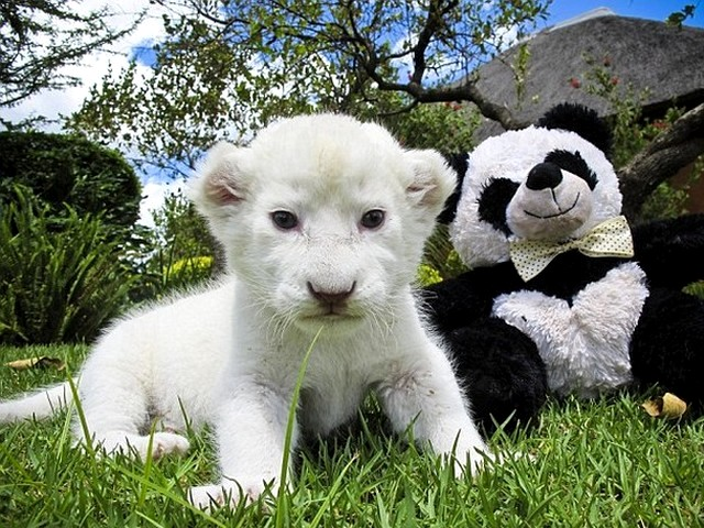 white lion cubs wallpaper. White Lion Cub in Pretoria
