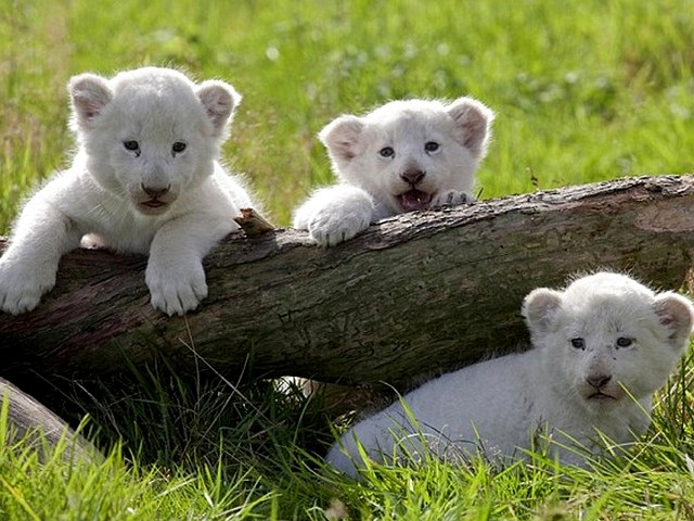 white lion cubs wallpaper. White Lion Cubs born in a
