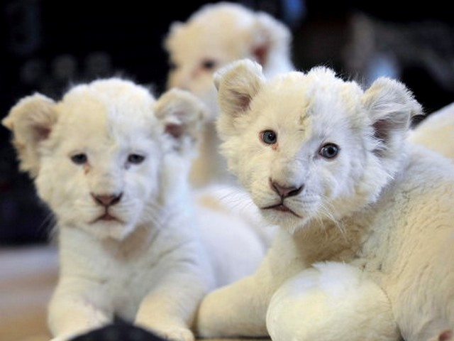 White Lion Cubs - The rare white lion's cubs with ordinary eye color are not albino. The white lion's fur color is caused by the missing gene called 'Chinchilla' (color inhibitor). - , white, lion, cubs, cub, animals, animal, rare, fur, furs, gene, genes, Chinchilla, color, inhibitor - The rare white lion's cubs with ordinary eye color are not albino. The white lion's fur color is caused by the missing gene called 'Chinchilla' (color inhibitor). Solve free online White Lion Cubs puzzle games or send White Lion Cubs puzzle game greeting ecards  from puzzles-games.eu.. White Lion Cubs puzzle, puzzles, puzzles games, puzzles-games.eu, puzzle games, online puzzle games, free puzzle games, free online puzzle games, White Lion Cubs free puzzle game, White Lion Cubs online puzzle game, jigsaw puzzles, White Lion Cubs jigsaw puzzle, jigsaw puzzle games, jigsaw puzzles games, White Lion Cubs puzzle game ecard, puzzles games ecards, White Lion Cubs puzzle game greeting ecard