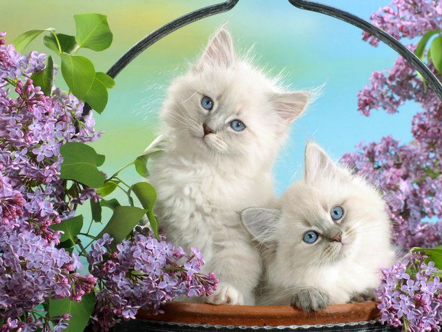 White Persian Kittens with Blue Eyes Wallpaper - Beautiful wallpaper of adorable Persian kittens with pure white,  fluffy like cashmere fur and glistening blue eyes with innocent angelic look, among fresh-cut blossoms of lilac. The breed of Persian cat has a placid and unpretentious nature, suitable for living in apartment and is popular pet in the United States. - , white, Persian, kittens, kitten, blue, eyes, eye, wallpaper, wallpapers, animals, animal, beautiful, adorable, pure, white, fluffy, cashmere, fur, furs, glistening, innocent, angelic, look, fresh, blossoms, blossom, lilac, breed, breeds, placid, unpretentious, nature, natures, apartment, apartments, popular, pet, pets, United, States, USA - Beautiful wallpaper of adorable Persian kittens with pure white,  fluffy like cashmere fur and glistening blue eyes with innocent angelic look, among fresh-cut blossoms of lilac. The breed of Persian cat has a placid and unpretentious nature, suitable for living in apartment and is popular pet in the United States. Solve free online White Persian Kittens with Blue Eyes Wallpaper puzzle games or send White Persian Kittens with Blue Eyes Wallpaper puzzle game greeting ecards  from puzzles-games.eu.. White Persian Kittens with Blue Eyes Wallpaper puzzle, puzzles, puzzles games, puzzles-games.eu, puzzle games, online puzzle games, free puzzle games, free online puzzle games, White Persian Kittens with Blue Eyes Wallpaper free puzzle game, White Persian Kittens with Blue Eyes Wallpaper online puzzle game, jigsaw puzzles, White Persian Kittens with Blue Eyes Wallpaper jigsaw puzzle, jigsaw puzzle games, jigsaw puzzles games, White Persian Kittens with Blue Eyes Wallpaper puzzle game ecard, puzzles games ecards, White Persian Kittens with Blue Eyes Wallpaper puzzle game greeting ecard