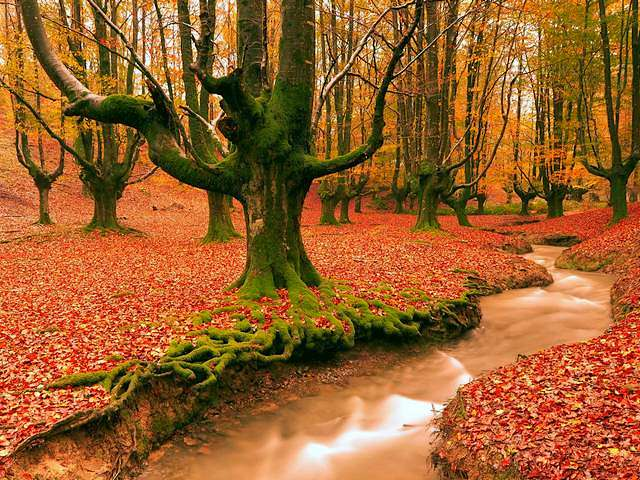 Autumn Beauty in Gorbea Natural Park Spain by Jesus Bravo - An incredibly enchanting photography by Jesus Ignacio Bravo Soler, depicting the beauty of an almost mystical forest with a carpet of beech leaves and a small stream that winds through trees covered with moss, lit by the sun in autumn. The picture is taken at Otxarreta (Otzarreta) beech forest within the Saldropo Wetland in the Gorbea Natural Park, near Vitoria city, a protected area located between the provinces of Alava and Vizcaya in the Basque Country of northern Spain. The Gorbea Natural Park is a popular destination for hikers, climbers and nature lovers that enjoy the rich flora and fauna. - , autumn, beauty, Gorbea, Natural, Park, parks, Spain, Jesus, Bravo, nature, natures, places, place, incredibly, enchanting, photography, photographys, mystical, forest, forests, carpet, carpets, beech, leaves, leaf, stream, streams, trees, tree, moss, sun, picture, pictures, Otxarreta, Otzarreta, Saldropo, Wetland, Vitoria, city, cities, area, areas, provinces, province, Alava, Vizcaya, Basque, Country, northern, destination, destinations, hikers, hiker, climbers, climber, flora, fauna - An incredibly enchanting photography by Jesus Ignacio Bravo Soler, depicting the beauty of an almost mystical forest with a carpet of beech leaves and a small stream that winds through trees covered with moss, lit by the sun in autumn. The picture is taken at Otxarreta (Otzarreta) beech forest within the Saldropo Wetland in the Gorbea Natural Park, near Vitoria city, a protected area located between the provinces of Alava and Vizcaya in the Basque Country of northern Spain. The Gorbea Natural Park is a popular destination for hikers, climbers and nature lovers that enjoy the rich flora and fauna. Solve free online Autumn Beauty in Gorbea Natural Park Spain by Jesus Bravo puzzle games or send Autumn Beauty in Gorbea Natural Park Spain by Jesus Bravo puzzle game greeting ecards  from puzzles-games.eu.. Autumn Beauty in Gorbea Natural Park Spain by Jesus Bravo puzzle, puzzles, puzzles games, puzzles-games.eu, puzzle games, online puzzle games, free puzzle games, free online puzzle games, Autumn Beauty in Gorbea Natural Park Spain by Jesus Bravo free puzzle game, Autumn Beauty in Gorbea Natural Park Spain by Jesus Bravo online puzzle game, jigsaw puzzles, Autumn Beauty in Gorbea Natural Park Spain by Jesus Bravo jigsaw puzzle, jigsaw puzzle games, jigsaw puzzles games, Autumn Beauty in Gorbea Natural Park Spain by Jesus Bravo puzzle game ecard, puzzles games ecards, Autumn Beauty in Gorbea Natural Park Spain by Jesus Bravo puzzle game greeting ecard