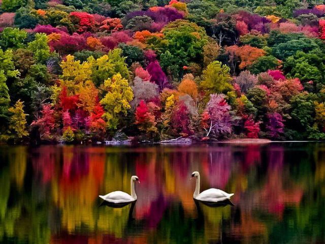 Autumn on Newfound Lake New Hampshire USA - Breathtaking view in awesome autumn colors on the Newfound Lake in New Hampshire, USA. This fascinating landscape with two swans floating in the middle the reflection of trees in the lake, contrasting on a beautiful palette in red, green, pink and purple, seems so unreal, it's like a dream. - , autumn, Newfound, lake, lakes, New, Hampshire, USA, nature, natures, places, place, breathtaking, view, views, awesome, colors, color, fascinating, landscape, landscapes, swans, swan, reflection, trees, tree, beautiful, palette, palettes, red, green, pink, purple, unreal, dream, dreams - Breathtaking view in awesome autumn colors on the Newfound Lake in New Hampshire, USA. This fascinating landscape with two swans floating in the middle the reflection of trees in the lake, contrasting on a beautiful palette in red, green, pink and purple, seems so unreal, it's like a dream. Solve free online Autumn on Newfound Lake New Hampshire USA puzzle games or send Autumn on Newfound Lake New Hampshire USA puzzle game greeting ecards  from puzzles-games.eu.. Autumn on Newfound Lake New Hampshire USA puzzle, puzzles, puzzles games, puzzles-games.eu, puzzle games, online puzzle games, free puzzle games, free online puzzle games, Autumn on Newfound Lake New Hampshire USA free puzzle game, Autumn on Newfound Lake New Hampshire USA online puzzle game, jigsaw puzzles, Autumn on Newfound Lake New Hampshire USA jigsaw puzzle, jigsaw puzzle games, jigsaw puzzles games, Autumn on Newfound Lake New Hampshire USA puzzle game ecard, puzzles games ecards, Autumn on Newfound Lake New Hampshire USA puzzle game greeting ecard