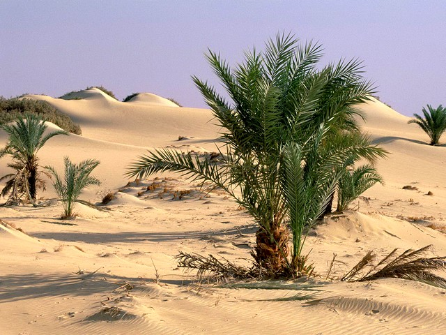 Oasis Dakhia Sahara Desert Egypt Wallpaper - Wallpaper with palm trees, which are growing out among the lifeless sand in the Sahara desert, at the area of oasis Dakhia, between the oases of Farafra and Kharga, in New Valley Governorate, 350 km from the Nile, in Egypt's Western Desert. - , oasis, oasises, Dakhia, Sahara, desert, deserts, Egypt, wallpaper, wallpapers, nature, natures, place, places, travel, travels, tour, tours, trip, trips, palm, palms, trees, tree, lifeless, sand, sands, area, areas, Farafra, Kharga, New, Valley, Governorate, 350, km, Nile, western - Wallpaper with palm trees, which are growing out among the lifeless sand in the Sahara desert, at the area of oasis Dakhia, between the oases of Farafra and Kharga, in New Valley Governorate, 350 km from the Nile, in Egypt's Western Desert. Solve free online Oasis Dakhia Sahara Desert Egypt Wallpaper puzzle games or send Oasis Dakhia Sahara Desert Egypt Wallpaper puzzle game greeting ecards  from puzzles-games.eu.. Oasis Dakhia Sahara Desert Egypt Wallpaper puzzle, puzzles, puzzles games, puzzles-games.eu, puzzle games, online puzzle games, free puzzle games, free online puzzle games, Oasis Dakhia Sahara Desert Egypt Wallpaper free puzzle game, Oasis Dakhia Sahara Desert Egypt Wallpaper online puzzle game, jigsaw puzzles, Oasis Dakhia Sahara Desert Egypt Wallpaper jigsaw puzzle, jigsaw puzzle games, jigsaw puzzles games, Oasis Dakhia Sahara Desert Egypt Wallpaper puzzle game ecard, puzzles games ecards, Oasis Dakhia Sahara Desert Egypt Wallpaper puzzle game greeting ecard