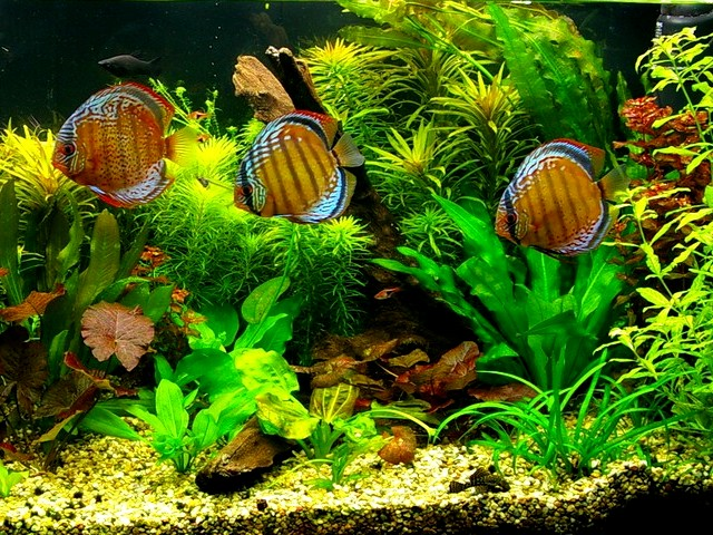 Discuses in the Home Aquarium - This Discuses (Symphysodon Aequifasciatus) in the home aquarium are native of streams in the Amason Basin. - , Discuses, Discus, home, aquarium, aquariums, ocean, life, lifes, Symphysodon, Aequifasciatus, Amason, Basin - This Discuses (Symphysodon Aequifasciatus) in the home aquarium are native of streams in the Amason Basin. Solve free online Discuses in the Home Aquarium puzzle games or send Discuses in the Home Aquarium puzzle game greeting ecards  from puzzles-games.eu.. Discuses in the Home Aquarium puzzle, puzzles, puzzles games, puzzles-games.eu, puzzle games, online puzzle games, free puzzle games, free online puzzle games, Discuses in the Home Aquarium free puzzle game, Discuses in the Home Aquarium online puzzle game, jigsaw puzzles, Discuses in the Home Aquarium jigsaw puzzle, jigsaw puzzle games, jigsaw puzzles games, Discuses in the Home Aquarium puzzle game ecard, puzzles games ecards, Discuses in the Home Aquarium puzzle game greeting ecard