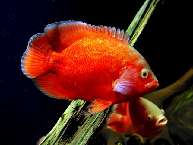 Red Oscar - The Red Oscar is one of the most intelligent omnivorous tropical fishes from the Amazon River Basin, South America. - , Red, Oscar, ocean, life, lifes, tropical, fishes, fish, Amazon, River, Basin, South, America - The Red Oscar is one of the most intelligent omnivorous tropical fishes from the Amazon River Basin, South America. Solve free online Red Oscar puzzle games or send Red Oscar puzzle game greeting ecards  from puzzles-games.eu.. Red Oscar puzzle, puzzles, puzzles games, puzzles-games.eu, puzzle games, online puzzle games, free puzzle games, free online puzzle games, Red Oscar free puzzle game, Red Oscar online puzzle game, jigsaw puzzles, Red Oscar jigsaw puzzle, jigsaw puzzle games, jigsaw puzzles games, Red Oscar puzzle game ecard, puzzles games ecards, Red Oscar puzzle game greeting ecard