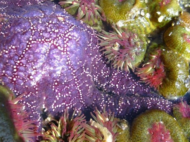 Starfish and Anemones - A starfish and anemones in the clear waters of the Great-Barrier Reef near Australia. - , starfish, starfishes, anemones, anemone, ocean, life, lifes, fish, fishes, flower, flowers, Great-Barrier, Reef, Australia - A starfish and anemones in the clear waters of the Great-Barrier Reef near Australia. Solve free online Starfish and Anemones puzzle games or send Starfish and Anemones puzzle game greeting ecards  from puzzles-games.eu.. Starfish and Anemones puzzle, puzzles, puzzles games, puzzles-games.eu, puzzle games, online puzzle games, free puzzle games, free online puzzle games, Starfish and Anemones free puzzle game, Starfish and Anemones online puzzle game, jigsaw puzzles, Starfish and Anemones jigsaw puzzle, jigsaw puzzle games, jigsaw puzzles games, Starfish and Anemones puzzle game ecard, puzzles games ecards, Starfish and Anemones puzzle game greeting ecard