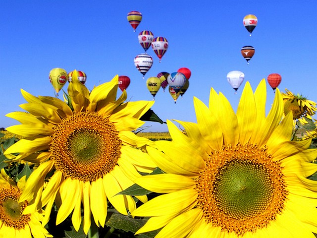 Air Ballons over Sunflowers - Colored hot air ballons flying over a field of sunflowers during the World Air Games in Seville. - , air, ballons, ballon, sunflowers, sunflower, flowers, flower, hot, World, Air, Games, game, Sevile - Colored hot air ballons flying over a field of sunflowers during the World Air Games in Seville. Lösen Sie kostenlose Air Ballons over Sunflowers Online Puzzle Spiele oder senden Sie Air Ballons over Sunflowers Puzzle Spiel Gruß ecards  from puzzles-games.eu.. Air Ballons over Sunflowers puzzle, Rätsel, puzzles, Puzzle Spiele, puzzles-games.eu, puzzle games, Online Puzzle Spiele, kostenlose Puzzle Spiele, kostenlose Online Puzzle Spiele, Air Ballons over Sunflowers kostenlose Puzzle Spiel, Air Ballons over Sunflowers Online Puzzle Spiel, jigsaw puzzles, Air Ballons over Sunflowers jigsaw puzzle, jigsaw puzzle games, jigsaw puzzles games, Air Ballons over Sunflowers Puzzle Spiel ecard, Puzzles Spiele ecards, Air Ballons over Sunflowers Puzzle Spiel Gruß ecards