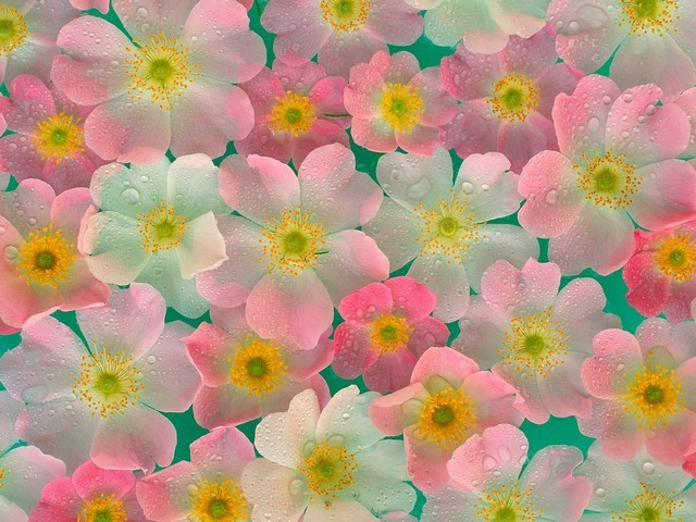 Anemones - Anemones - , Flowers, &, Gardens, Anemones - Anemones Solve free online Anemones puzzle games or send Anemones puzzle game greeting ecards  from puzzles-games.eu.. Anemones puzzle, puzzles, puzzles games, puzzles-games.eu, puzzle games, online puzzle games, free puzzle games, free online puzzle games, Anemones free puzzle game, Anemones online puzzle game, jigsaw puzzles, Anemones jigsaw puzzle, jigsaw puzzle games, jigsaw puzzles games, Anemones puzzle game ecard, puzzles games ecards, Anemones puzzle game greeting ecard