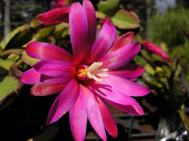 Christmas Cactus - A magnificent purple flower from the Schlumbergera cactus genus, known as a Christmas Cactus, Thanksgiving Cactus, Crab Cactus and Holiday Cactus, depending on the season when the plants are cultivated and offered for sale in the different regions. - , Christmas, cactus, cactuses, flowers, flower, holiday, holidays, feast, feasts, festivity, festivities, celebration, celebrations, seasons, season, magnificent, purple, Schlumbergera, genus, genuses, Thanksgiving, crab, crabs, plants, plant, sale, sales, different, regions, region - A magnificent purple flower from the Schlumbergera cactus genus, known as a Christmas Cactus, Thanksgiving Cactus, Crab Cactus and Holiday Cactus, depending on the season when the plants are cultivated and offered for sale in the different regions. Solve free online Christmas Cactus puzzle games or send Christmas Cactus puzzle game greeting ecards  from puzzles-games.eu.. Christmas Cactus puzzle, puzzles, puzzles games, puzzles-games.eu, puzzle games, online puzzle games, free puzzle games, free online puzzle games, Christmas Cactus free puzzle game, Christmas Cactus online puzzle game, jigsaw puzzles, Christmas Cactus jigsaw puzzle, jigsaw puzzle games, jigsaw puzzles games, Christmas Cactus puzzle game ecard, puzzles games ecards, Christmas Cactus puzzle game greeting ecard