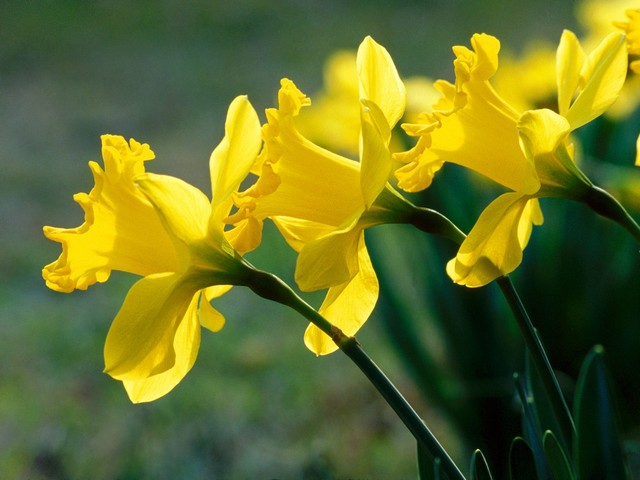 Daffodils - Daffodils (Narcissus) are beautiful and delightful mostly spring-blooming flowers, symbolising a friendship. - , Daffodils, daffodil, flowers, flower, narcissus, spring, friendship - Daffodils (Narcissus) are beautiful and delightful mostly spring-blooming flowers, symbolising a friendship. Solve free online Daffodils puzzle games or send Daffodils puzzle game greeting ecards  from puzzles-games.eu.. Daffodils puzzle, puzzles, puzzles games, puzzles-games.eu, puzzle games, online puzzle games, free puzzle games, free online puzzle games, Daffodils free puzzle game, Daffodils online puzzle game, jigsaw puzzles, Daffodils jigsaw puzzle, jigsaw puzzle games, jigsaw puzzles games, Daffodils puzzle game ecard, puzzles games ecards, Daffodils puzzle game greeting ecard