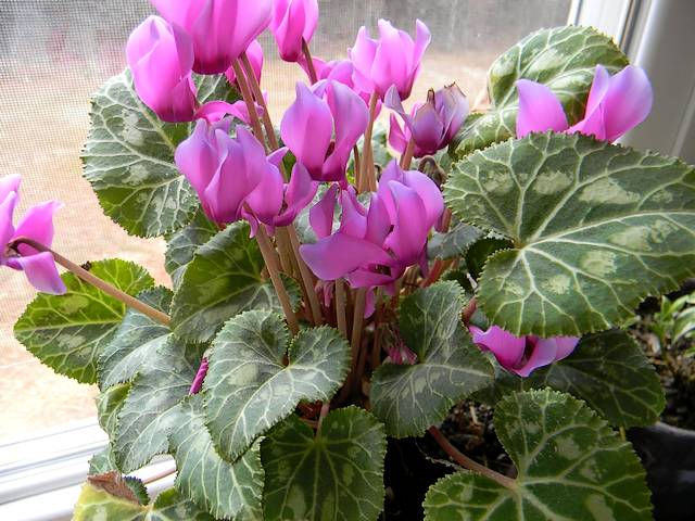 Valentines Day Gift Cyclamen - The magnificent cyclamen, a delicate flower, which blooms in different colours only around February and March, is an ideal gift for Valentine's Day. - , Valentines, day, days, gift, gifts, cyclamen, flowers, flower, holidays, holiday, feast, feasts, festival, festivals, festivity, festivities, celebrations, celebration, magnificent, delicate, different, colours, colour, February, March, ideal - The magnificent cyclamen, a delicate flower, which blooms in different colours only around February and March, is an ideal gift for Valentine's Day. Solve free online Valentines Day Gift Cyclamen puzzle games or send Valentines Day Gift Cyclamen puzzle game greeting ecards  from puzzles-games.eu.. Valentines Day Gift Cyclamen puzzle, puzzles, puzzles games, puzzles-games.eu, puzzle games, online puzzle games, free puzzle games, free online puzzle games, Valentines Day Gift Cyclamen free puzzle game, Valentines Day Gift Cyclamen online puzzle game, jigsaw puzzles, Valentines Day Gift Cyclamen jigsaw puzzle, jigsaw puzzle games, jigsaw puzzles games, Valentines Day Gift Cyclamen puzzle game ecard, puzzles games ecards, Valentines Day Gift Cyclamen puzzle game greeting ecard