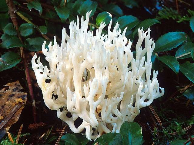White Coral Mushrooms in California America - The white coral mushrooms (Ramariopsis kunzei, formerly called Clavaria kunzei) are edible species in the Clavariaceae family, which are widespread in northeastern North America and from the Pacific Northwest to the southern California, Europe, Asia, and Australia. These mushrooms are with branched structure, white colour some of them tinged with pink, fragile flesh and grow terrestrially, rarely on decayed woods in mixed forests. - , white, coral, corals, mushrooms, mushroom, California, America, flowers, flower, nature, natures, travel, travel, trip, trips, tour, tours, Ramariopsis, kunzei, Clavaria, edible, species, specie, Clavariaceae, family, families, northeastern, North, Pacific, Northwest, southern, Europe, Asia, Australia, branched, structure, structures, colour, colours, pink, fragile, flesh, terrestrially, decayed, woods, wood, mixed, forests, forest - The white coral mushrooms (Ramariopsis kunzei, formerly called Clavaria kunzei) are edible species in the Clavariaceae family, which are widespread in northeastern North America and from the Pacific Northwest to the southern California, Europe, Asia, and Australia. These mushrooms are with branched structure, white colour some of them tinged with pink, fragile flesh and grow terrestrially, rarely on decayed woods in mixed forests. Solve free online White Coral Mushrooms in California America puzzle games or send White Coral Mushrooms in California America puzzle game greeting ecards  from puzzles-games.eu.. White Coral Mushrooms in California America puzzle, puzzles, puzzles games, puzzles-games.eu, puzzle games, online puzzle games, free puzzle games, free online puzzle games, White Coral Mushrooms in California America free puzzle game, White Coral Mushrooms in California America online puzzle game, jigsaw puzzles, White Coral Mushrooms in California America jigsaw puzzle, jigsaw puzzle games, jigsaw puzzles games, White Coral Mushrooms in California America puzzle game ecard, puzzles games ecards, White Coral Mushrooms in California America puzzle game greeting ecard